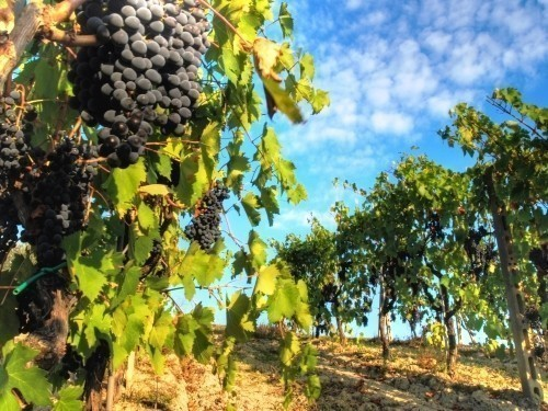 What is Chianti? Chianti vineyard